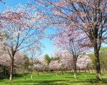 ニセコエリアの桜