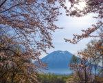 Full bloom sakura with Mt. Yotei