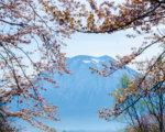 ニセコの桜2020春