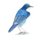 Koruri Wild Birds