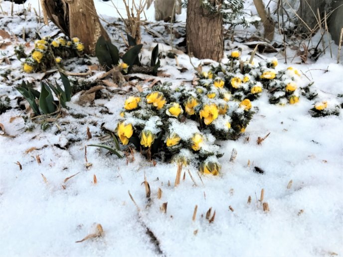 2017 March 28 Spring Flowers Hit By Late Snowfall 1