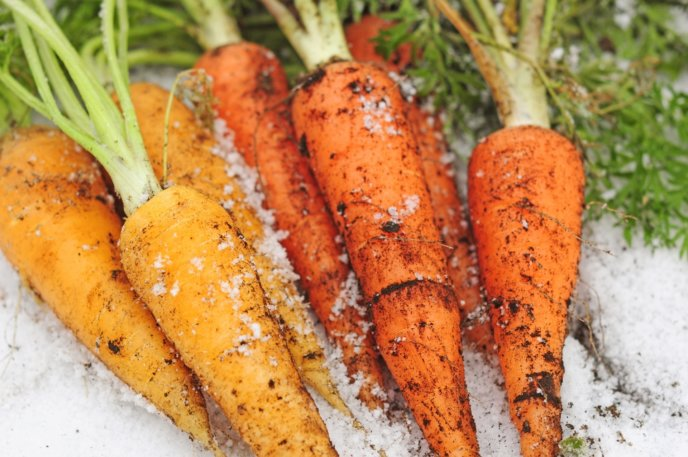 Carrots Under The Snow