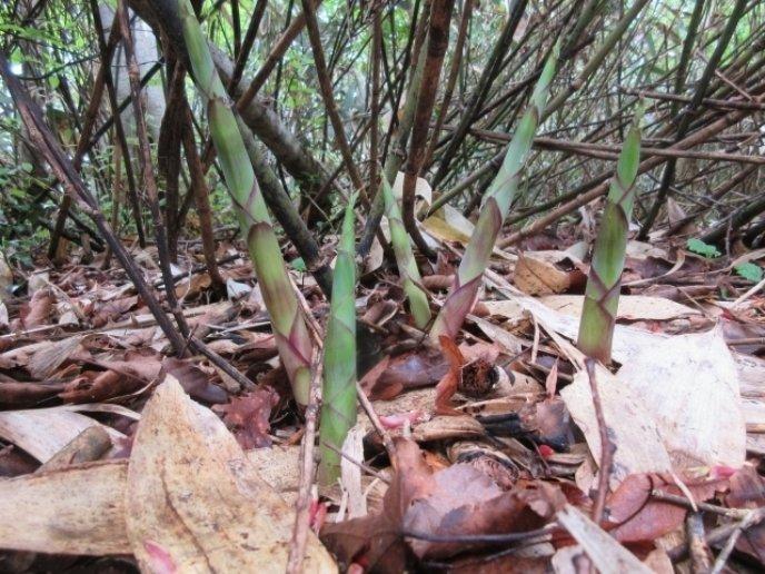 Himetake Bamboo Shoots Grow Ac