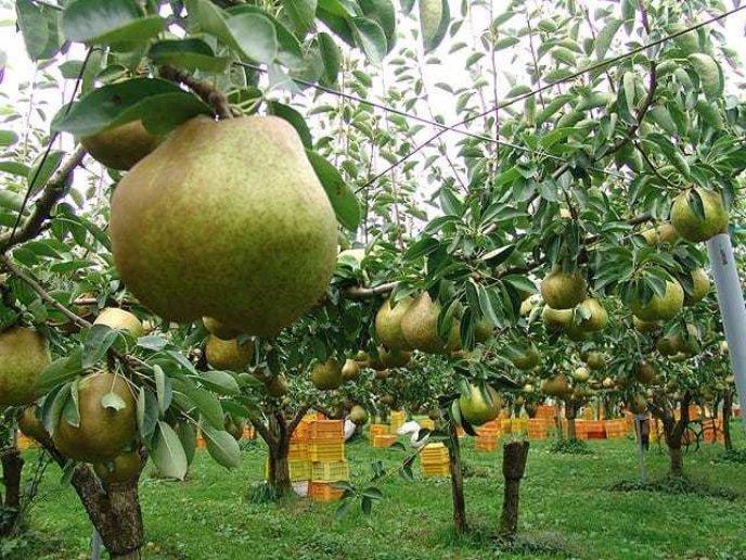 Maruzen Sato Orchard