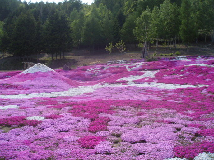 Mijima Sans Shibazakura Garden In Kutchan Town Kutchan Tourism Association Photo