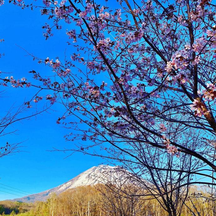 Miyayama Sakura Cherry Blossom