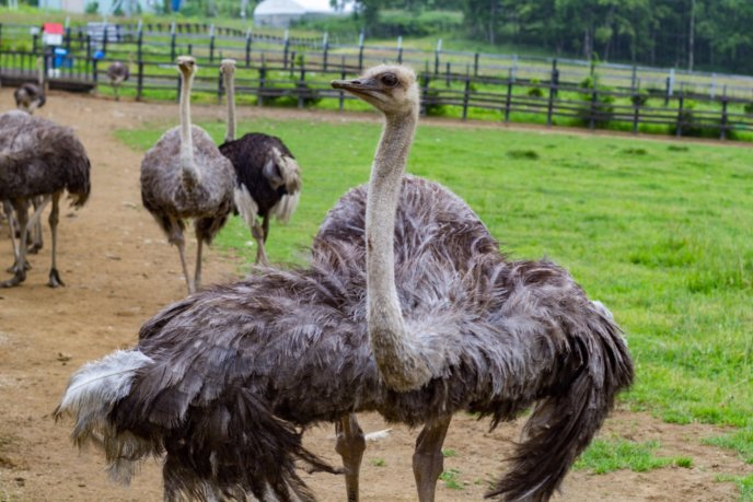 Rhythm Bike Tour At Lake Toya Summer 2017 19 Ostrich Farm Niseko Town