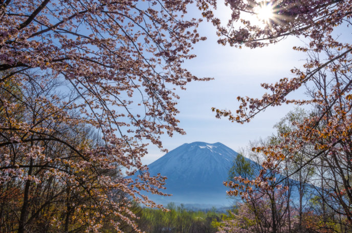 Full bloom sakura with Mt. Yotei