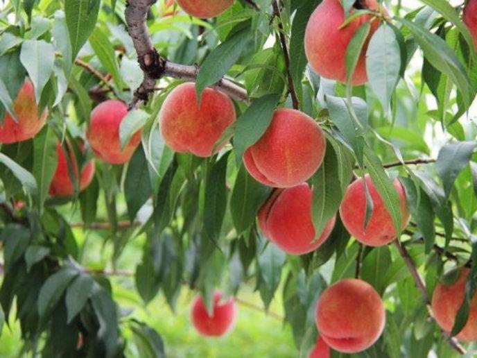 Yamamoto Fruit Orchard Hokkaido2 Edit