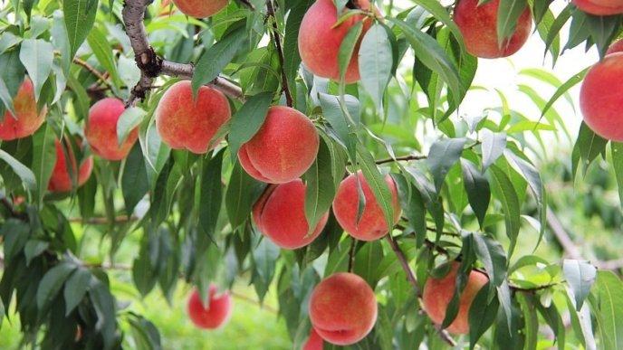Yamamoto Fruit Orchard