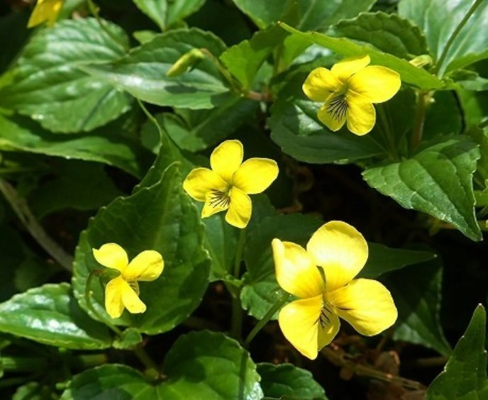 Yellow Violets Oobakisumire