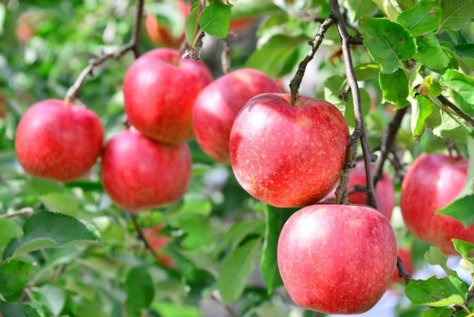 Apple Ac