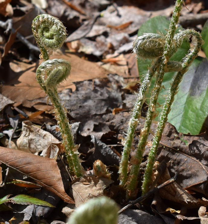Ferns Unfurling Bracken Fiddleheads Spring Food Mountain Vegetables
