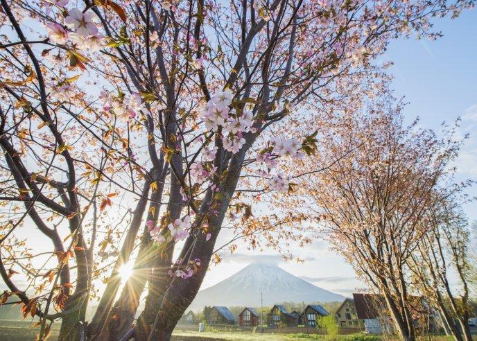 Hirafu 2 Spring Cherry Blossoms Sakura Mt Yotei