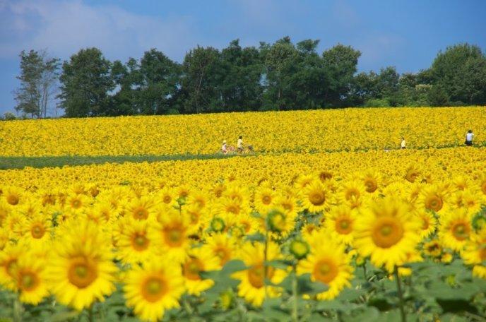Hokuryu Sunflower Field
