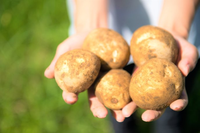 Potato Harvest Season 2017 1