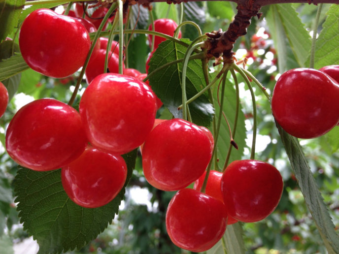 Red Ruby Cherry