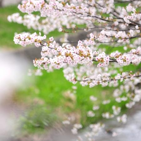 桜の開花予報2021