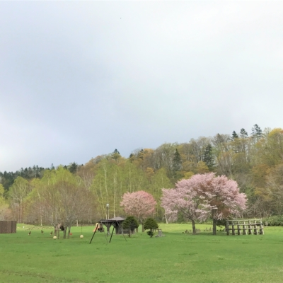 Sakura At Niseko Shinrin-Park At Bbq Site