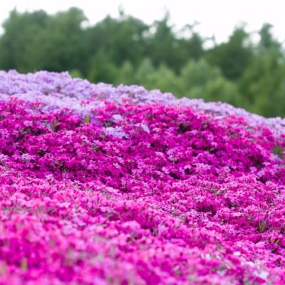 2017 Hdr Shibazakura Mishima Sans Garden Kutchan Town 6