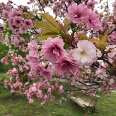 2017 05 22 Hirafu Niseko Spring Clean Up 12
