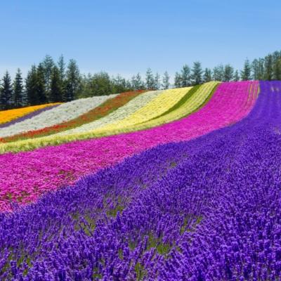 Flower Garden At Furano