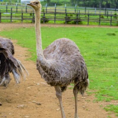 Niseko Ostrich Farm 3