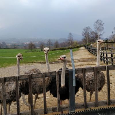 Ostrich Farm 5