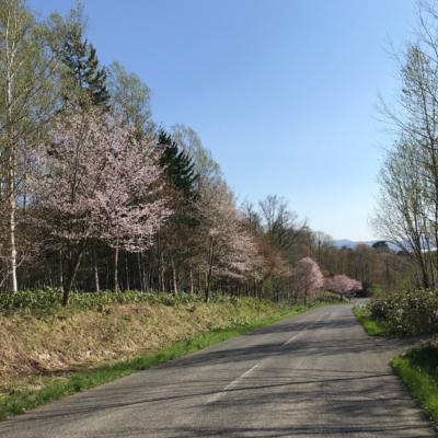Sakura Niseko Road