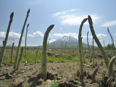 Spring Asparagus Growing With Snowy Mt  Yotei In Background