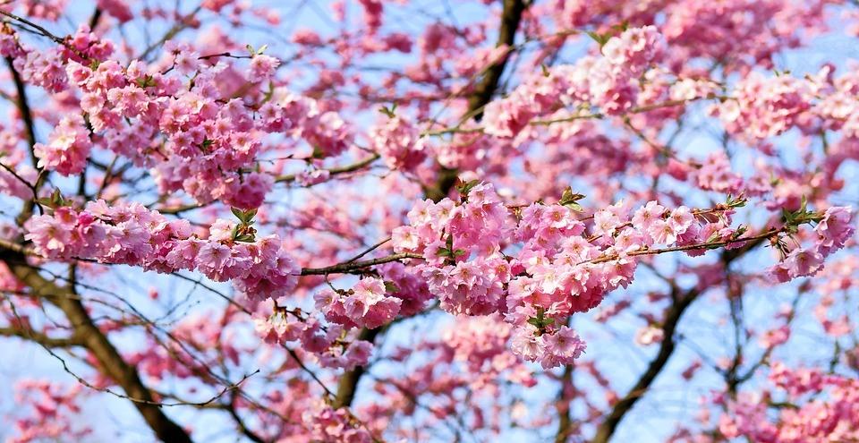 Cherry Blossom 1318258 960 720